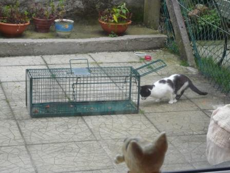 A feral cat making his way into the trap following the trail of food.