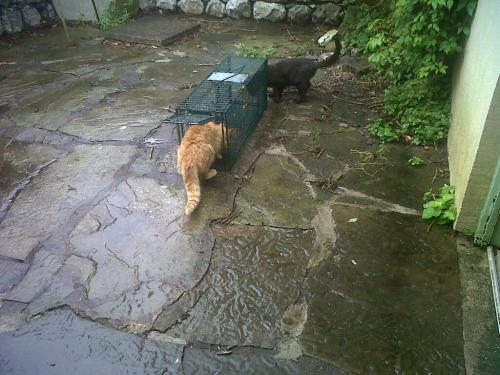 The ginger tom cat is making his way into the trap while the black cat is checking out the Perspex panel at the back of the trap.